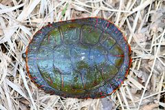 Painted Turtle (Chrysemys picta) Carapace. Painted Turtle (Chrysemys picta) coming out in spring in Illinois Stock Image