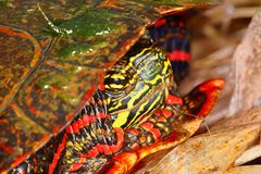 Painted Turtle (Chrysemys picta). Close up of Painted Turtle (Chrysemys picta) found in northern Illinois Stock Images