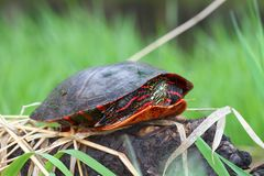 Painted Turtle Chrysemys picta. Coming out in spring in Illinois Stock Photography