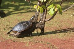 Painted Turtle Chrysemys picta. Sunning on a log Royalty Free Stock Images