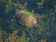 Painted Turtle (Chrysemys picta) Swimming. Painted Turtle (Chrysemys picta) swims on the surface of a small pond in Illinois Stock Image