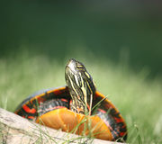 Painted Turtle Climbing over Log. A colorful Painted Turtle Climbing over Log Royalty Free Stock Photo