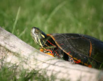 Painted Turtle Climbing over Log. A colorful Painted Turtle Climbing over Log Stock Photo