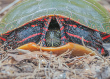 Painted Turtle. A  Painted Turtle close up head shot Stock Photography