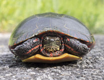 Painted Turtle Closeup Stock Images