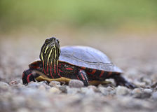 Painted turtle. A colorful,  painted turtle,showing yellow and red markings,  slowly walking on a gravel lane with a blurred vegetation background Stock Image