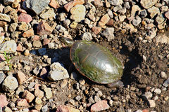 Painted Turtle Digging Nest Royalty Free Stock Photos
