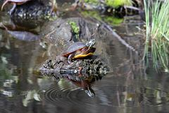 Turtle Ripple. Painted turtle enjoying the sun with water ripples Royalty Free Stock Photography