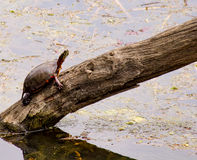 Painted turtle Royalty Free Stock Images