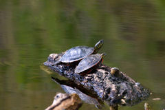 Painted Turtle on a Floating Log Stock Photography