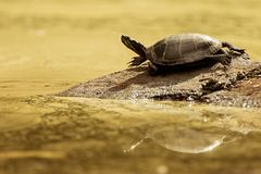 Painted Turtle Golden Pond Royalty Free Stock Photo