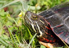 Painted turtle in the grass. Close up of a Painted turtle in the grass Stock Image