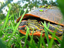 Painted turtle in grass Royalty Free Stock Photos