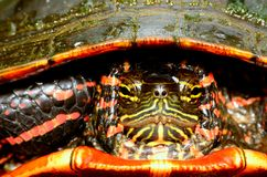 Painted Turtle Head. A closeup macro shot of a painted turtle head back inside its shell Stock Image