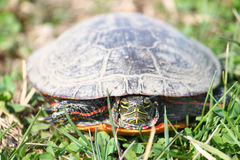 Painted Turtle Illinois Wildlife Royalty Free Stock Photography