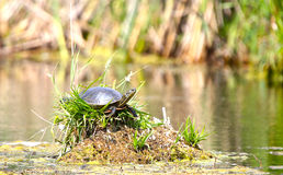 Painted turtle on Lake in Minnesota Stock Photo