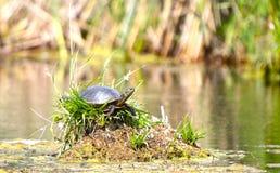 Painted turtle on Lake in Minnesota. Painted turtle on small island lake in Minnesota Stock Photo