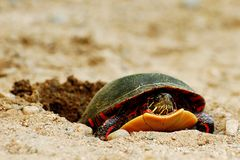 Painted Turtle Laying Eggs Royalty Free Stock Images