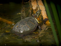 Painted turtle Stock Photography