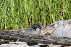 Painted Turtle On Log. A Painted Turtle (Chrysemys picta) Warms Up Soaking Up Some Sun On A Log Stock Photography