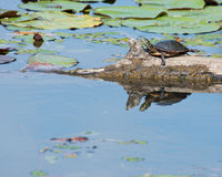 Painted Turtle On a Log. A painted turtle perched on a log in a marsh Royalty Free Stock Photography
