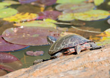 Painted Turtle On A Log. A painted turtle perched on a log in a marsh Royalty Free Stock Photo