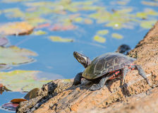 Painted Turtle On A Log. A painted turtle perched on a log in a marsh Royalty Free Stock Image