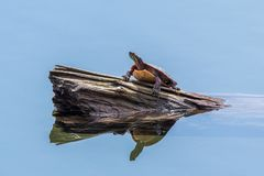 Painted turtle on a log in a pond stock photo