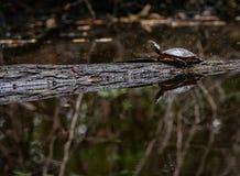 Painted Turtle On Log stock image