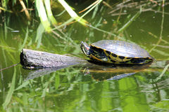 Painted Turtle on Log. A painted turtle resting on a log in green water Royalty Free Stock Image