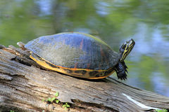 Painted Turtle on a Log. This Painted Turtle was sunning itself on a log in the Six Mile Cypress Slough Preserve. Eastern Painted Turtles are water turtles. They Stock Photo