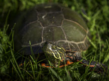 Painted Turtle Stock Photo