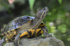 Painted Turtle Looking Up from It`s Perch on a Rock. Great painted turtle sitting on a rock looking up Stock Photography