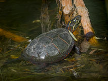 Painted turtle in a marsh Stock Photos