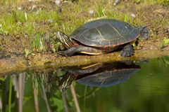 Painted Turtle: Midland Subspecies. Midland Painted Turtle basking in the sun by the edge of a pond. Don Valley Brickworks Park, Toronto, Ontario, Canada Royalty Free Stock Photo