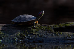 Painted Turtle Morning Royalty Free Stock Photography