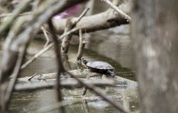 Painted Turtle on muddy bog pond in Georgia, USA. Painted Turtle, Chrysemys picta, pond slider river cooter turtle basking on a log on a cloudy day. Photographed Stock Photography