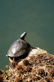 Painted Turtle Perched. On rock absorbing the suns rays stock image