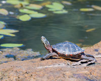Painted Turtle. A painted turtle perched on a log in a marsh Royalty Free Stock Photos