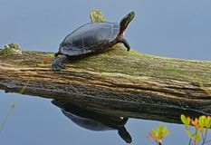Painted turtle Reflection. Painted turtleChrysemys picta resting on a log on Otter Lake,Muskoko Lakes,Ontario,Canada Stock Photo
