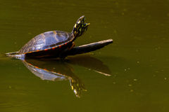 Painted turtle singing Stock Photo
