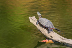 A painted turtle sits on a log in fall in New England Stock Photography