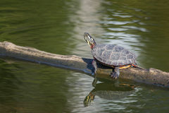 A painted turtle sits on a log in fall in New England Stock Images