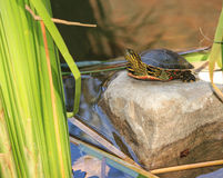 Painted Turtle. A painted turtle sitting on a rock at the lake royalty free stock photos
