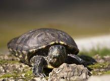 Painted turtle. Sort : Trachemys scripta elegans. Horizontal position stock photos