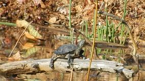 Painted Turtle sun basking in Pandapas Pond Park Newport Va. Pandapas Pond is an 8-acre man-made pond on the edge of the Eastern Continental Divide.  A one-mile stock video