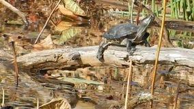 Painted Turtle sun basking in Pandapas Pond Park Newport Va. Dynamic backgrounds, themes, wallpaper. Organic art all natural. Pandapas Pond is an 8-acre man stock footage