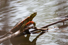 Painted Turtle Sunning Stock Photography