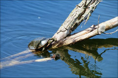 Painted Turtle Sunning On A Log. A painted turtle sunning itself on a log in a freshwater pond Royalty Free Stock Photography