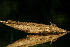 Painted Turtle sunning in log Stock Photo